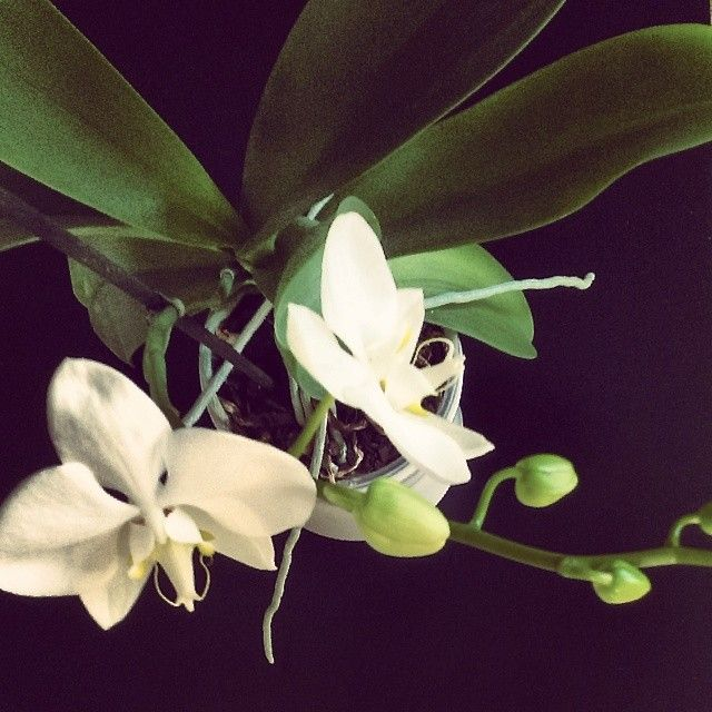 #hello #spring ! Ktoś mi zrobił niespodziankę i rozwinął dwa pąki w pierwszy dzień wiosny :) #flowers #orchid