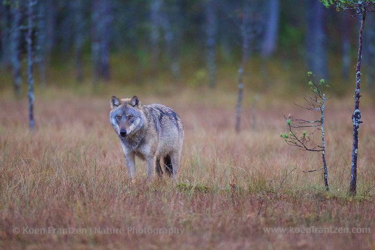 Wolves vs. bear  koenfrantzen.com