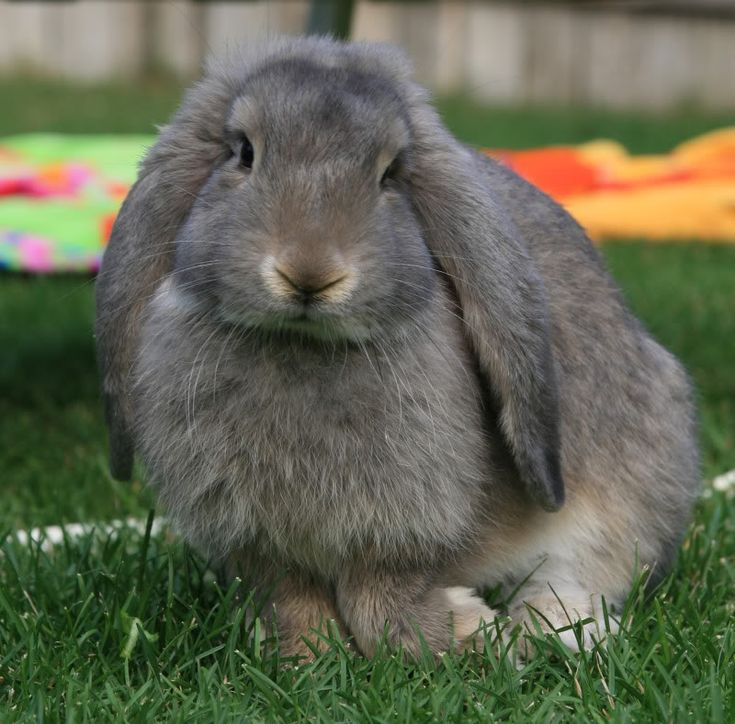 Opie, an adorable opal colored French Lop Rabbit - from MN Mommy (Chillin' With My Peeps)
