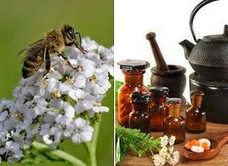 Το φυτικό λάδι της αχιλλαίας ή αχιλλείας, Achillea Millefolium - Common Yarrow, προέρχεται από εκχύλιση των ανθών του φυτού. Είναι πλούσι...