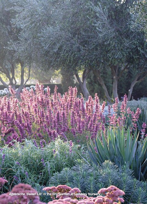 Succulents and flowering plants combined   Dry garden at Lambley Nursery, Ascot.