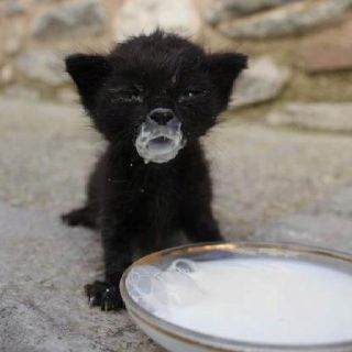 Got cookies? Adorable tiny black kitten with milk all over its face #kittens #cats