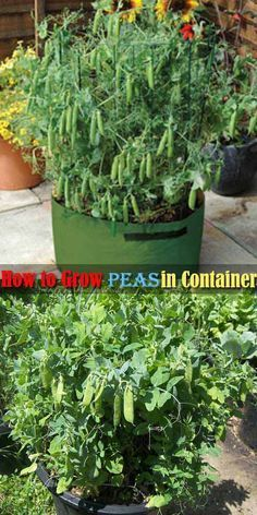 #10. Peas are a great crop for container gardening, but they do not do well with the high heat of summer.
