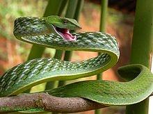 Ahaetulla nasuta - Wikipedia, the free encyclopedia