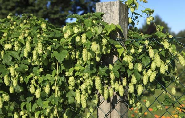Grow, harvest, and dry hops
