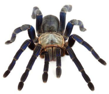 Spider Tarantulas For Sale | Tarantula Guide
