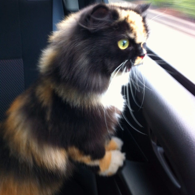 This is a persian cat not a doll ☺
