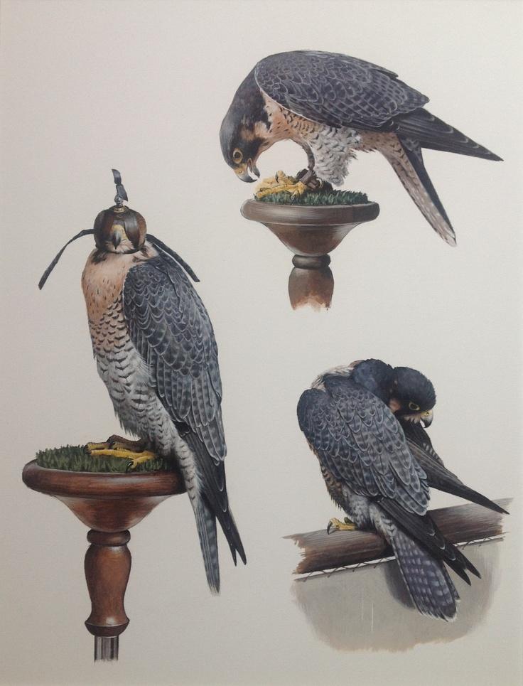 Gouache of peregrine falcon