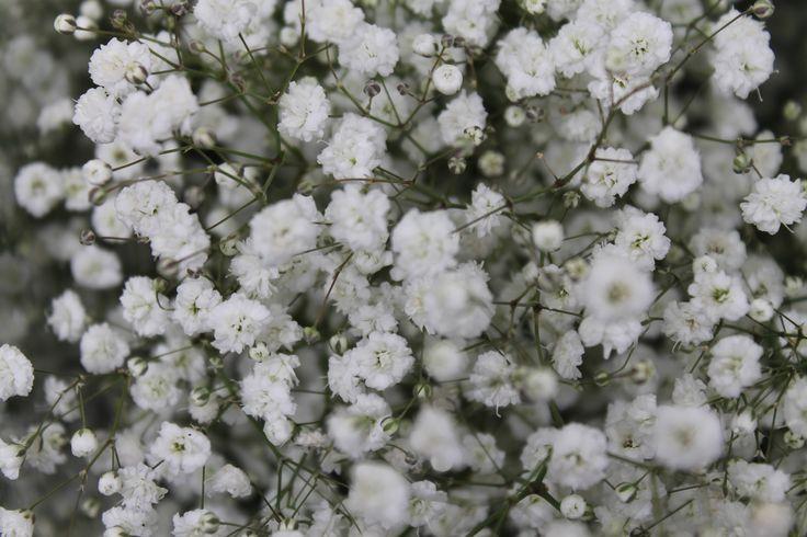 Gypso, Gypsophila, flor blanca de novias www.kharismafloral.com