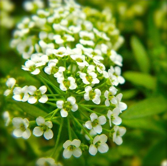 Spirea Tiny White Flowering Bush Photography 8x10 by smithDESIGNZ, $25.00