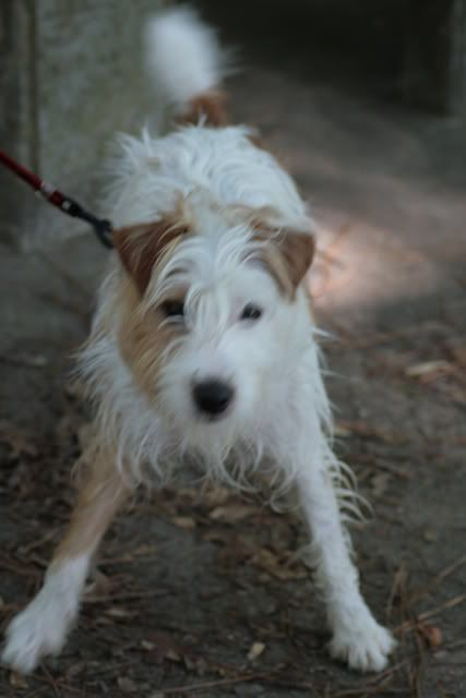 Image Result For Rough Coated Jack Russell Terrier