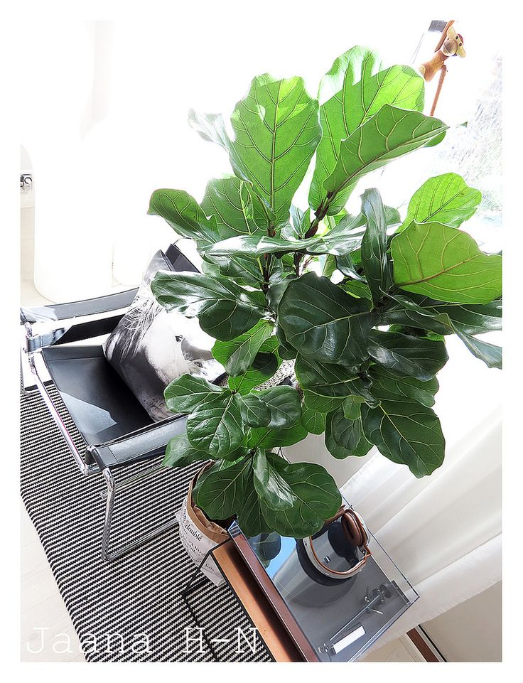 https://flic.kr/p/FbC1CU | Fiddle Leaf Fig (Ficus Lyrata) | I wanted a little bit of green colour for the summer so I dragged this gorgeous thing home with me.  Apparently the force is not strong with these but I'll try my best to pamper it the right way.  Oh.. and it's huge; 160cm / 5 ft 3 in!!