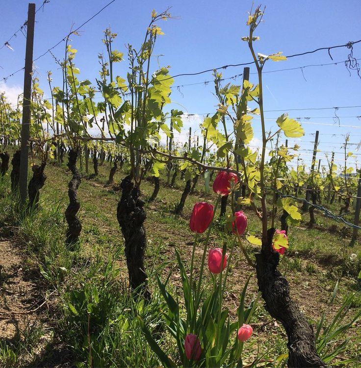 #nebbiolo for #barolo in #rocchedellannunziata @aureliosettimo #spring #vineyard #vintage2017 #annata2017 #primavera #tulips #aureliosettimo #newlife #wine #vino #winelover #langhe #piemonte #piedmont #winetour #tourism #travel #italy #italia #flowers #cru #lamorra