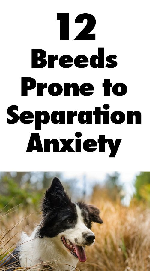 12 Dog Breeds Prone to Separation Anxiety.... I would add huskies to this list! http://iheartdogs.com/12-dog-breeds-prone-to-separation-anxiety/