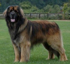 """Leonberger, """"gentle lion"""" from Germany. Sweet dogs, generally 30'' tall and 170 lbs. Great with kids! Calm, docile. This breed almost went extinct after WWII."""