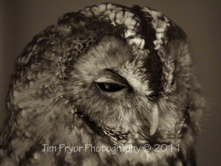 """Tim Pryor - We are very fortunate to have Tawny Owl's living nearby and this chap lives locally. We have been lucky as he has had two offspring this year so this a 'proud dad' captured moment. The image is available as a 20"""" x 15"""" Limited Edition Fine Art Print (2/250). I only use the best fine art paper available which is a natural white Hahnemühle """"William Turner"""" mould paper (matt, 310 g/m²). This paper produces excellent image sharpness and brilliant colour grading pro £55.00"""
