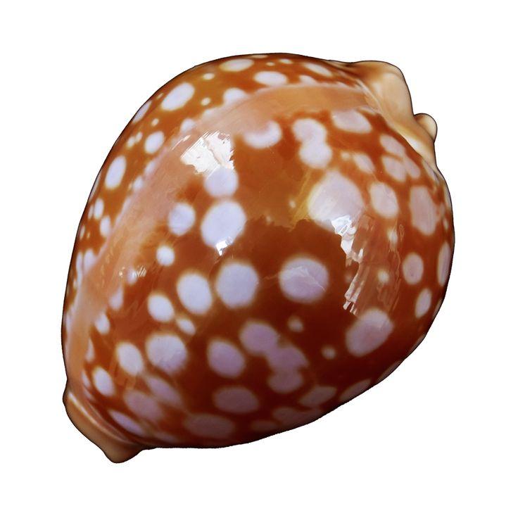 貝の悠悠ネット Seashell.uyunet.com 悠悠貝殼網 - 貝類標本 標本貝 貝類図鑑 世界の貝 標本貝入札 貝類標本販売 稀有貝類…