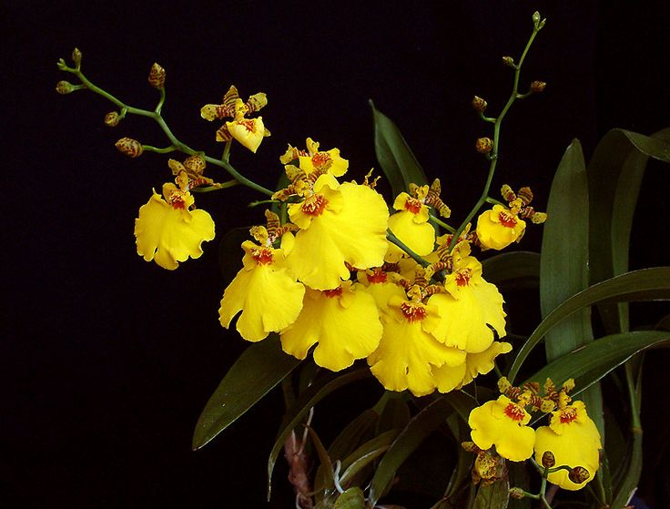 Oncidium Orchids | Dave's orchids - orchid photoalbum