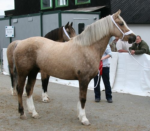 Photo Archive Sales Sec D - Young Filly 2009 : Rainhill Welsh Cobs
