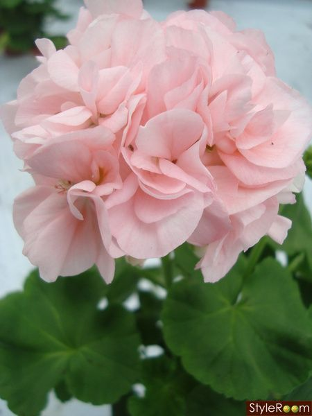 Pelargonium 'Mårbacka'
