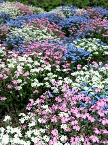 Myosotis: semer et planter – ComprendreChoisir