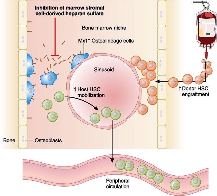 Image result for heparan sulfate Medical illustration