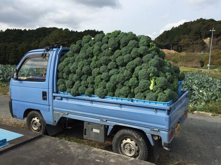 12/7 収穫約1300個のブロッコリー!