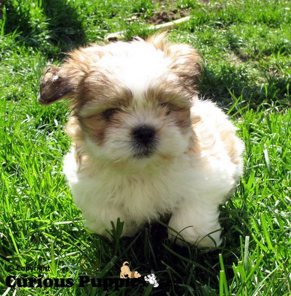 shih tzu mix for sale 1000 ideas about shih tzu maltese mix on pinterest 3547