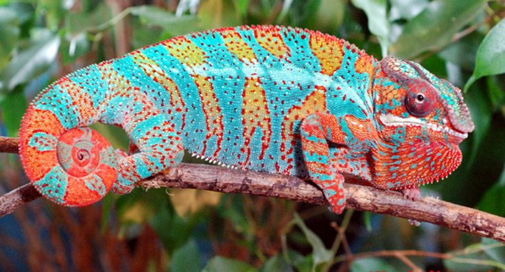 red and blue chameleon - Google Search | Draw This ...