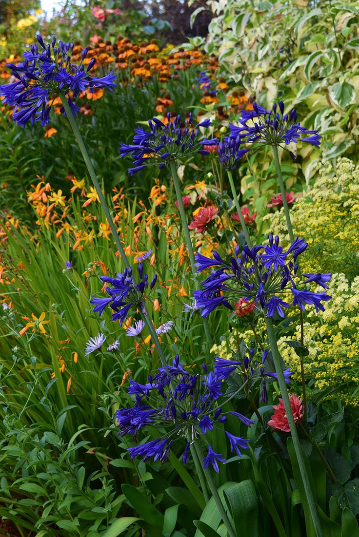 Crocosmia (middle), Agapanthus (blue, front) and Helenium (raer)