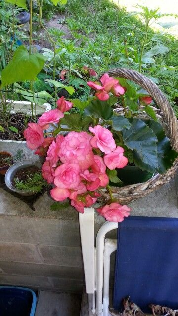 Farmers market begonia. Only one doing well. Rest from Independent Grocers have blight.