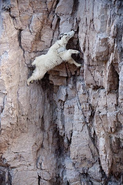 A mountain goat stretches to reach a mineral lick.