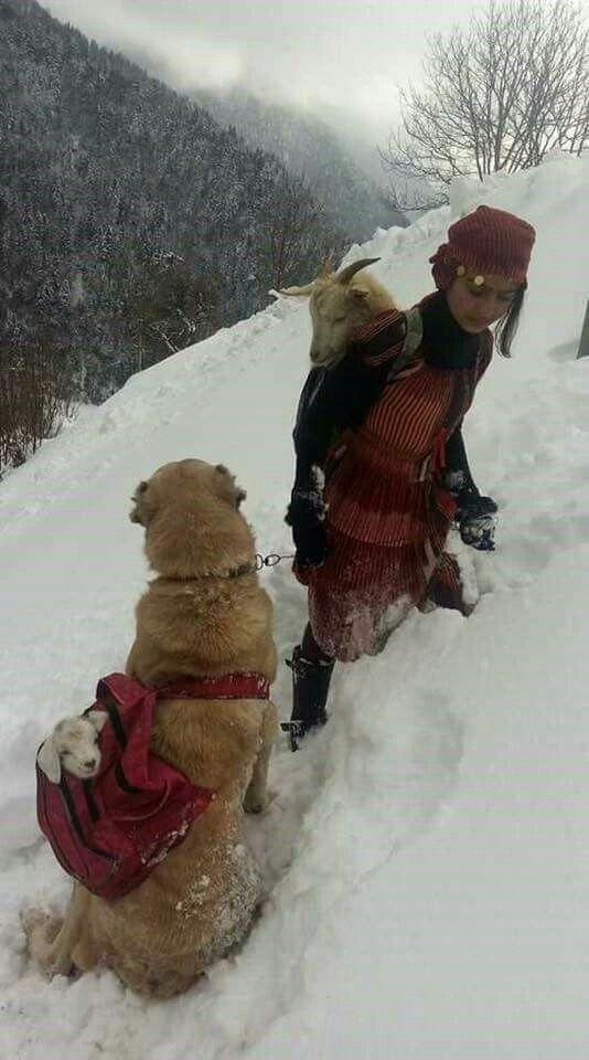 Karda doğum yapan keçiyi sırtında, yavruyu da köpeğine taşıtan Rizeli çoban kız. ❤❤
