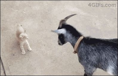 Don't Mess With me, Goat!  I've Got Sharp Horns on My Paws!