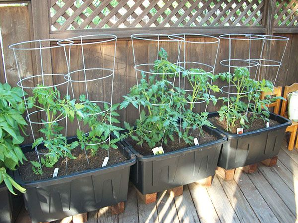 Tomato Plants in Storage Containers Beginning