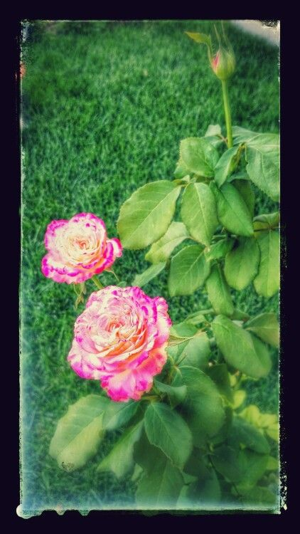 My roses in July