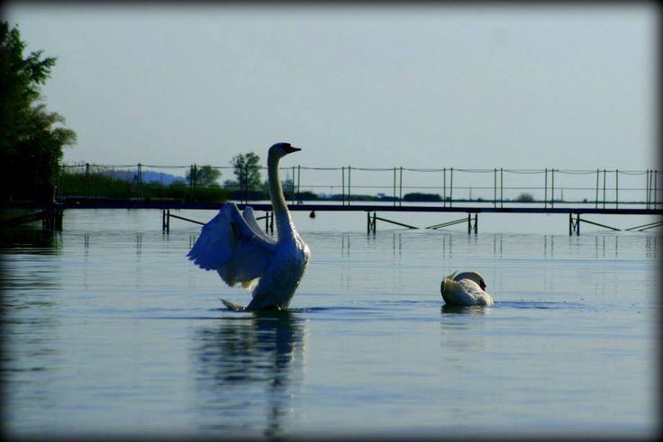 Swan on the lake - Balaton