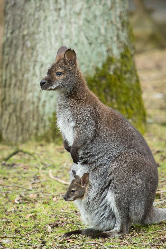 ~~Two looking forward ~ Red Necked Wallaby baby (joey) and mom (relative of a kangaroo) by burnett0305~~