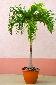 Potted palm outdoor living pinterest palm plants for Low maintenance potted plants indoor