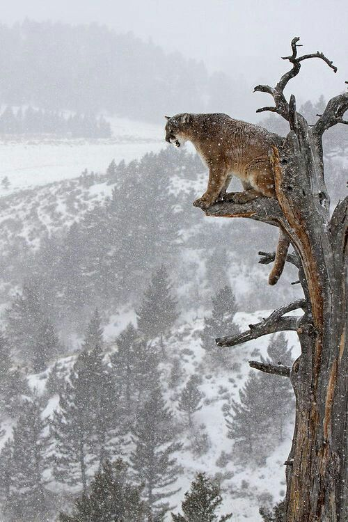 ⭐ brown grey white . winter snow cats . mountain lion