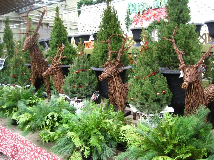 Grapevine Reindeer, Live Christmas Trees And Winter Urn