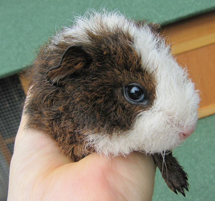 Texel Guinea Pigs For Sale | Texel Guinea Pigs For Sale