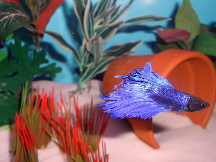 Read our latest post to discover extremely important information on a disease known as Betta Fish Fin Rot. It could save your betta's life one day!