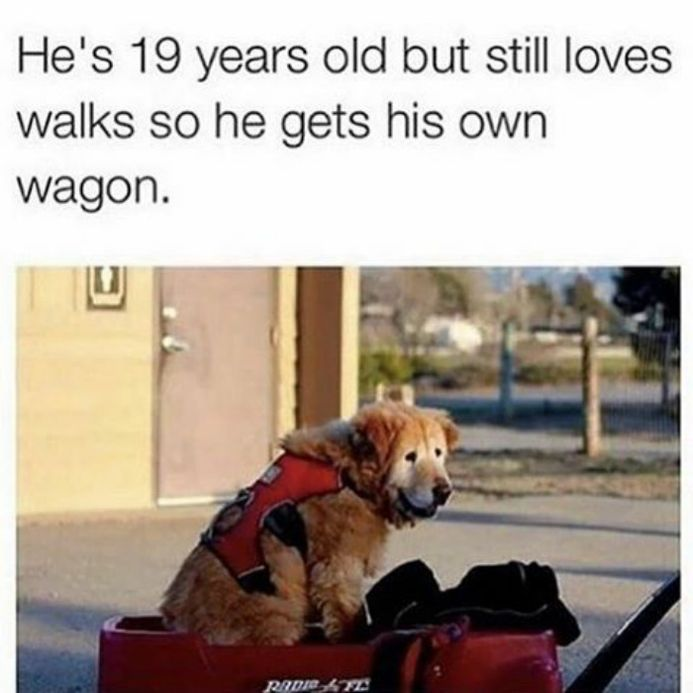 He's 19 years old but still loves walks so he gets his own wagon.