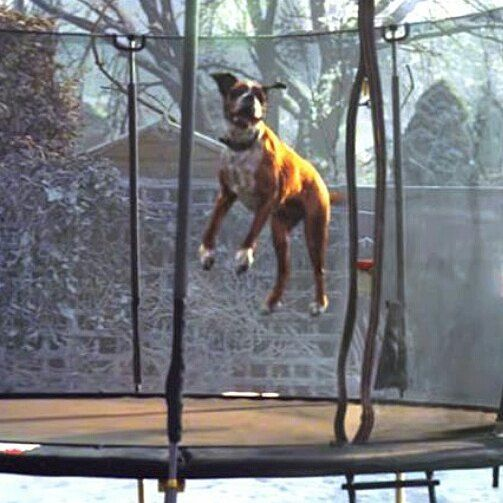 Be like #BusterTheBoxer at Urban Jump this Christmas 😅🐶 #johnlewisad #christmas #trampoline #trampolining #jump #dog #dogsofinstagram #familyfun #exercise #kids #toddler #familyactivity #eastsussex #play #playtime