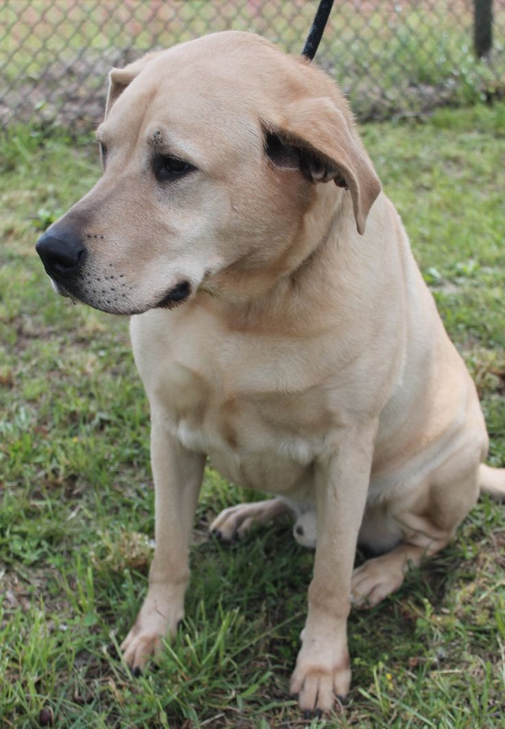 Adopt Charlie Boy on Labrador retriever, Labrador