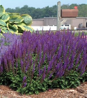 how to grow east friesland salvia