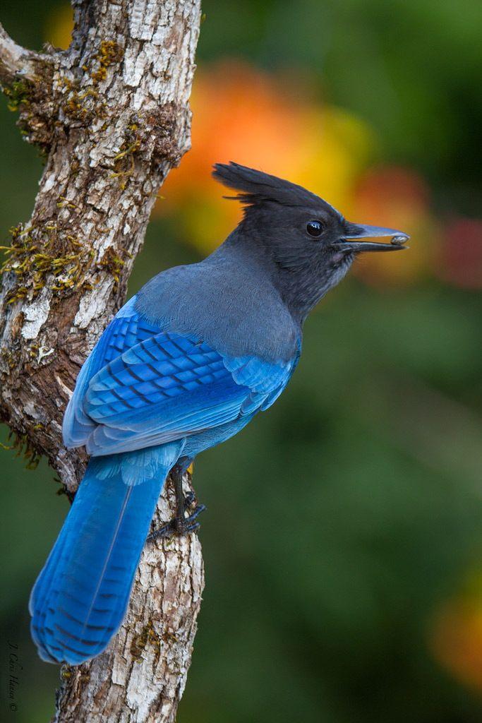 Quot Snack Time Quot Steller S Jay By Chris Hansen Birds Blue