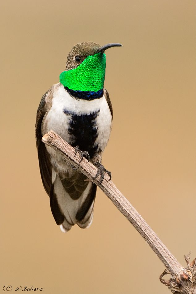 White-sided Hillstar Picaflor Cordillerano (Oreotrochilus leucopleurus) is a species of hummingbird found in far southern Bolivia, Chile and western Argentina.