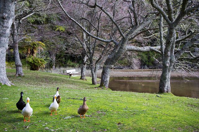 Ducks at McLaren Falls Park, Tauranga   © Elyse Childs Photography